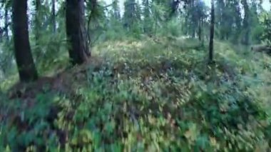 Green foliage in forest .taiga — Stock Video