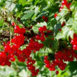Ripe red currants — Stock Video