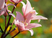 Pink lily in garden — Stock Photo