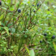 Bush of a ripe bilberry — Vídeo Stock