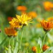 Pot marigold (Calendula officinalis) fiel - Stock Photo