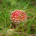 Amanita poisonous mushroom  — Stock Photo #12661326