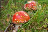 Amanita poisonous mushroom — Stock Photo