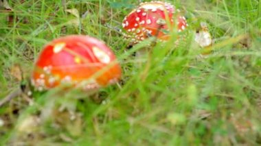 Close-upof a Amanita poisonous mushroom — Stock Video