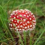 Amanita poisonous mushroom — Stock Photo #13776816