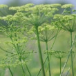 Angelica plan. Close-up  . - Stock Photo