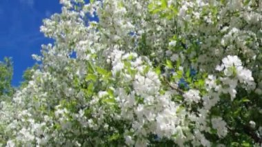 Een bloeiende tak van appelboom — Stockvideo