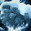 Winter frost on spruce tree — Stock Photo #23906963