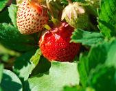 Rama jugosa fresa — Foto de Stock