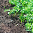 Small carrot sprouts growing. — Stock Photo