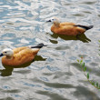 Ruddy shelducks — Stock fotografie
