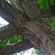 Detail old oak tree — Stock Photo