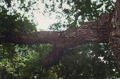 Detail old oak tree — Stock Photo