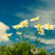Beautiful chamomiles on a sky background — Stock Photo