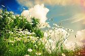 Beautiful chamomiles — Stock Photo