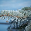 Постер, плакат: Winter frost on spruce tree