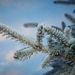 Постер, плакат: Winter frost on spruce tree
