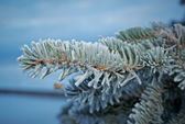 Winter frost on spruce tree — Stock Photo
