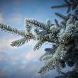 Winter frost on spruce tree — Stock Photo #37428557