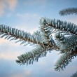 Winter frost on spruce tree — Stock Photo #37428601