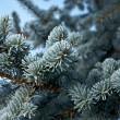 Winter frost on spruce tree — Stock Photo #37562055