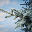 Winter frost on spruce tree — Stock Photo #38329317