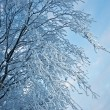 Birch trees with hoarfrost on the branches — Stock Photo #39037441