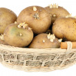 Potatoes with sprouts - Stock Photo