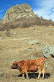 Cow on an autumn pasture — Stock Photo