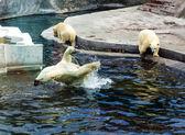 Eisbären — Stockfoto