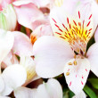 Flowering Alstroemeria - Stock Photo