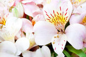 Flowering Alstroemeria — Stock Photo
