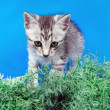 Gray kitten in a green grass - Stock Photo