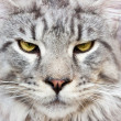 Maine Coon Cat - Stock Photo