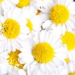 Royalty-Free Stock Photo: Chamomile flowers background
