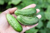 Fresh green cucumbers in hands. — Stock Photo