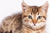 British kitten lying on a white background — Stock Photo