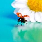 Flying ladybug and camomile flower. — Stock Photo #43321903