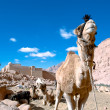 Stock Photo: Camel at St. Catherine's Monastery