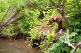 The brown bear fishes in Russia on Kamchatka — Stock Photo