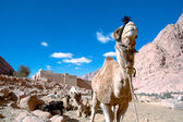 Camel at St. Catherine's Monastery — Stock Photo