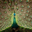 Portrait of beautiful peacock with feathers out - Stockfoto