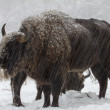 Big wild bisons in the winter forest - Stock Photo