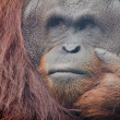 The Orang Utan - Stock Photo