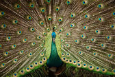 Portrait of beautiful peacock with feathers out — Stock Photo