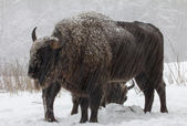 Big wild bisons in the winter forest — Stock Photo