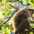 Stock Photo: Rhesus macaque monkey (Macacmulatta)