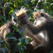 Stock Photo: The rhesus macaque monkey (Macaca mulatta)