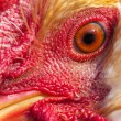 A rooster portrait close up - Stock Photo