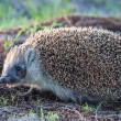 Royalty-Free Stock Photo: Wild hedgehog